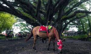 Kuda Djawatan Benculuk Banyuwangi